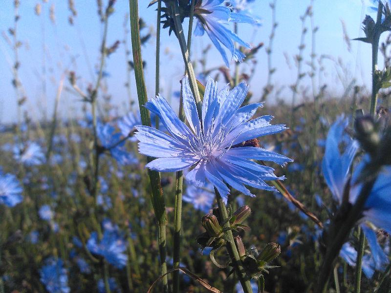 фото луговых цветов