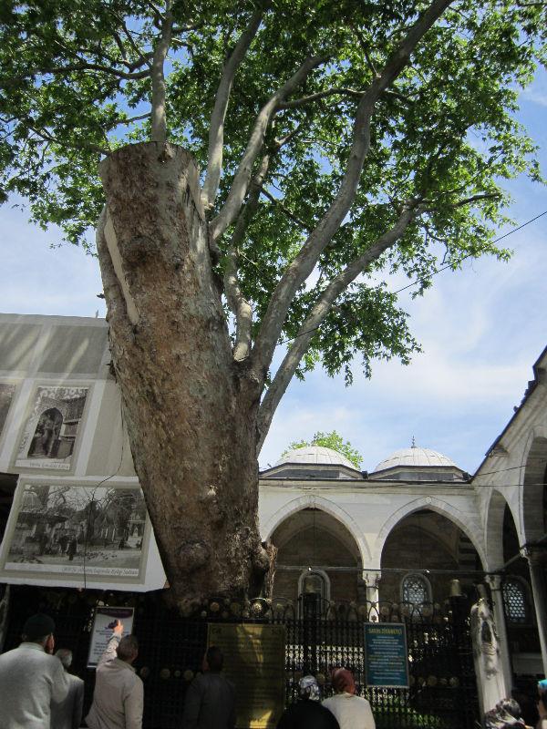 платан в мечети Эйюпа