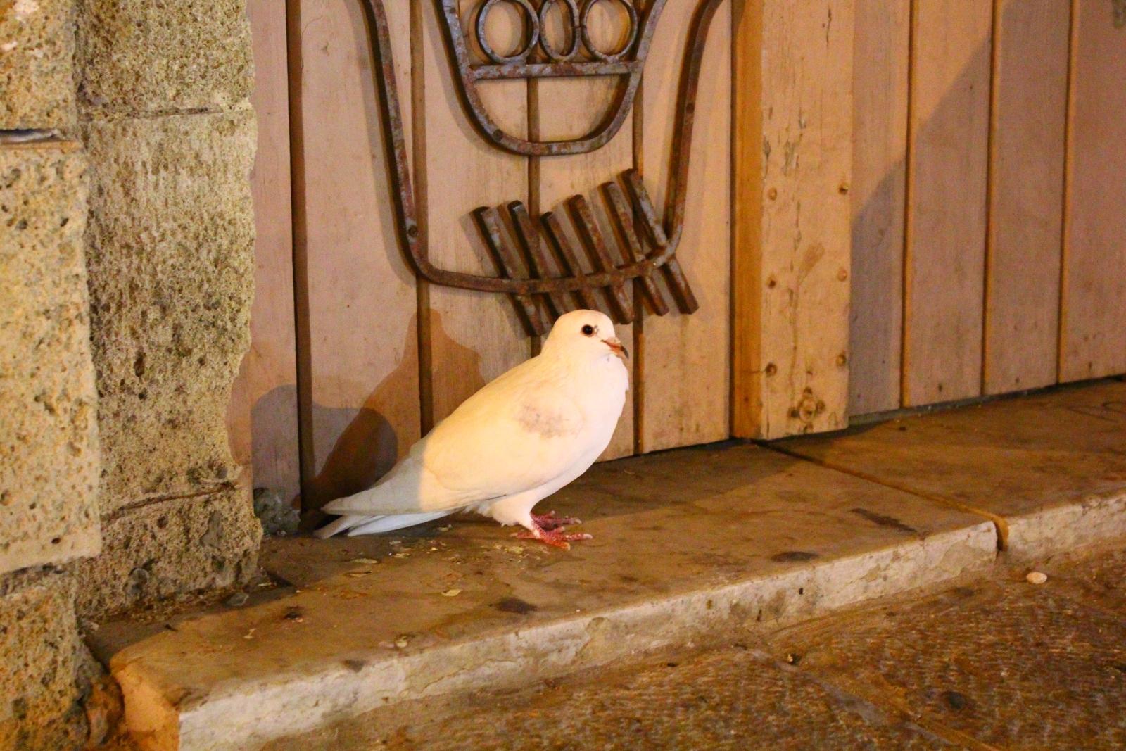 Белого голубя часто называют голубем мира