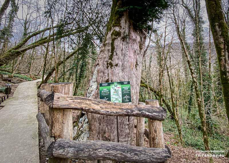 Дереву более 1000 лет